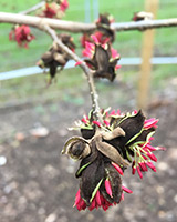 Close up views of the 'Parrotia persica' flowers.