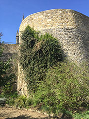 Ercilla volubilis reaching heights of over 6m on the medieval wall.