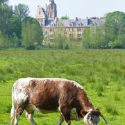 Old English Longhorn cattle in the Meadows