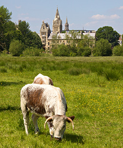 Longhorn cows grazing in the meadow in front of Christ Church