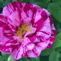 Rose 'Rosa Mundi'