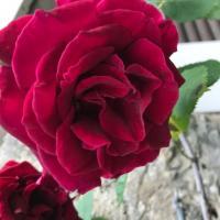 Rose 'Guinee'