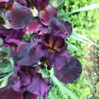 Iris 'Langport Wren' has a scent of chocolate