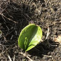 Single Adder's Tongue Fern plant.