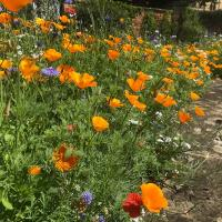 Californian Poppies (Eschscholzia californica)