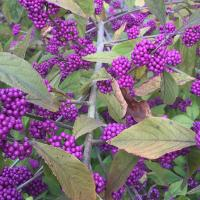 The purple berries on this Callicarpa bodinieri var giraldii 'Profusion' scarcely look real and are another berry that the birds tend to ignore.