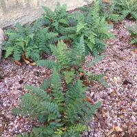 Cheilanthes lanosa, the Hairy Lip Fern from North America enjoys gritty free draining soils.