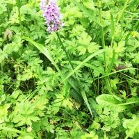 Common Spotted Orchid with spotted leaves just visible.