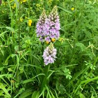 Common Spotted Orchid (Dactylorhiza fuchsii) on the Dean's Ham.