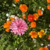 Pink Cornflower (Centaurea cyanus)