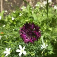 Purple Cornflower (Centaurea cyanus)