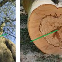 Main stem above large tear out wound (left), showing old flush cut pruning wound, and felled stem (right), green lines indicate locations of resistograph readings.