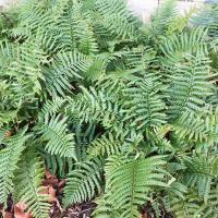 Dryopteris wallichiana, Alpine Wood Fern from NE Asia
