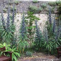 Echiums in the Pococke Garden