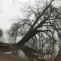 Fallen Horse Chestnut tree on the Deans Ham.