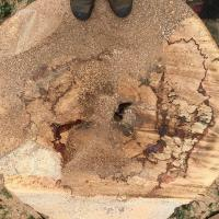 The remaining tree stump at ground level after felling.