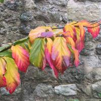 Amazing variation of colour on the Persian Ironwood (Parrotia persica) in the Masters Garden.