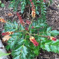Mahonia nitens 'Cabaret' with great autumn/winter flowers and foliage colours.