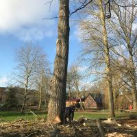 The main stem being felled.