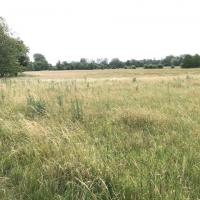 Christ Church Meadow prior to hay cut in mid-July, mainly grasses and thistles.