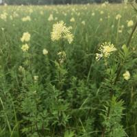Meadow Rue at Long Mead.