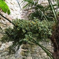 Fruit on the Trachycarpus fortunei palm in the Pococke Garden