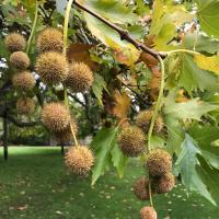 Pococke Tree (Platanus orientalis)