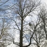 The three poplar trees designated for removal.
