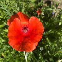 Common Red Poppy (Papaver rhoeas)