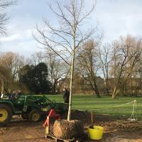 One of the new Tilia x europaea 'Pallida' trees ready for planting.