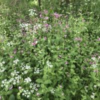 Red Campion and Cow Parsely on Christ Church Meadow