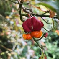 Psychedelic Spindle fruit in the Meadow