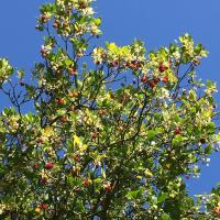Flowrs and fruit at the same time are provided by the Strawberry Trees in the Masters Garden in the autumn and winter.