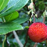 Fruit of the Strawberry Tree