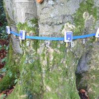 Typical tomograph set up showing the sensors and nails which are driven a short way into the tree and which are struck with a hammer to send sound waves through the trunk. (Photo courtesy Simon Holmes, Tree Surveys).