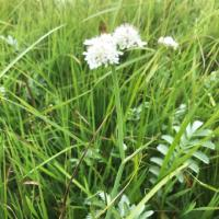 Tubular Water Dropwort and Silverweed in Christ Church Meadow, some of the few surviving species from the lost flora.