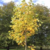 It is interesting that these young Tulip Trees on the Dean's Ham colour up earlier than the older one in between, which nicely increases the season of interest.