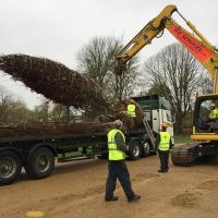 The tree was carefully lifted off the lorry with the excavator, great care was taken to lift by the rootball to avoid damaging the trunk of the tree.