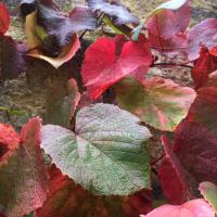 Brilliant colours on this climbing Vitis coignetiae (Crimson Glory Vine) on the walls in Meadow Quad.