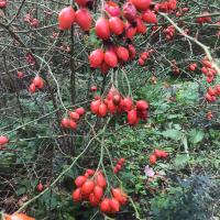 Wild rose hips (Rosa spinossisima) in the Meadow
