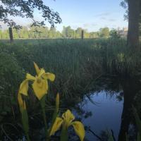 Yellow Flag Iris on Christ Church Meadow
