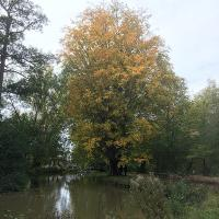 Our magnificent old Zelkova carpiniflolia (Caucasian Elm) showing off its autumn splendour on the banks of the River Cherwell.