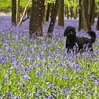A walk in the bluebells with Moses, Bladon. Photo: Clare Hayns