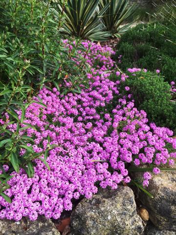Aethionema in the Mediterranean Border of the Masters Garden