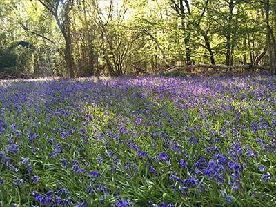 The emergence of spring, seen in Buckinghamshire woodland
