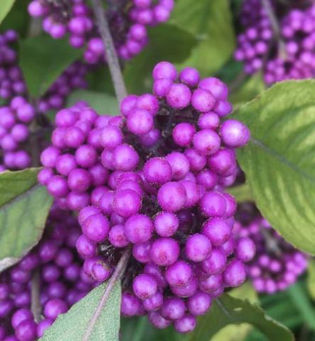 the purple berries of a Callicarpa bodinieri var giraldii