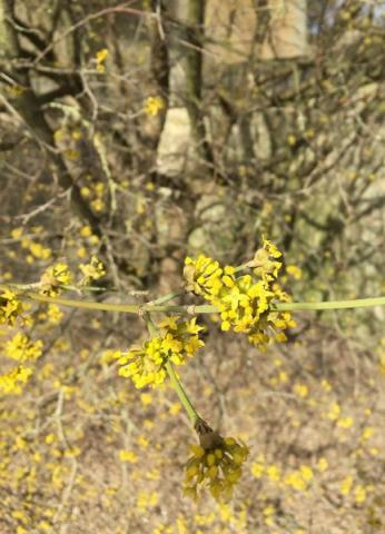 Flowers on the Cornelian Cherry
