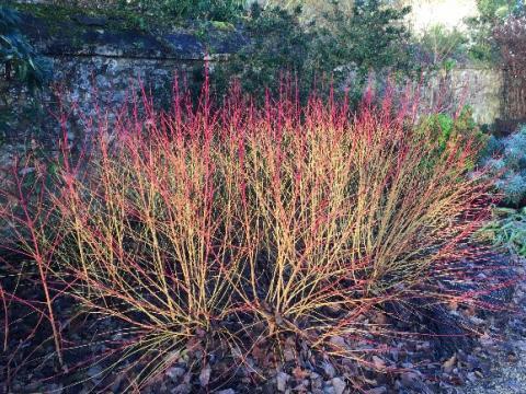 Dogwood 'Cornus Sanguinea' aka Winter Fire