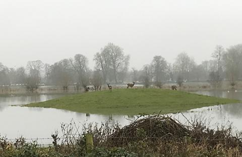 Deer on high ground within the flooded meadow