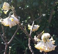 Flowers on the Edgeworthia chrysantha